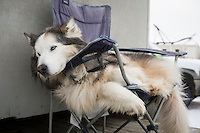 "Nicholas Petit mascot dog "" Ugly "" was the first dog he ever put a harness on, relaxes in a chair at the restart of the Iditarod sled dog race in Willow, Alaska Sunday, March 3, 2013."