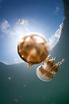 Sunrays illuminate a jellyfish, Mastigias sp., Jellyfish Lake, Kakaban Island, Berau, Kalimantan, Borneo, Indonesia, Pacific Ocean