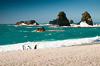Fiordland Crested Penguins on remote beach on West Coast, South Westland, South Island, New Zealand