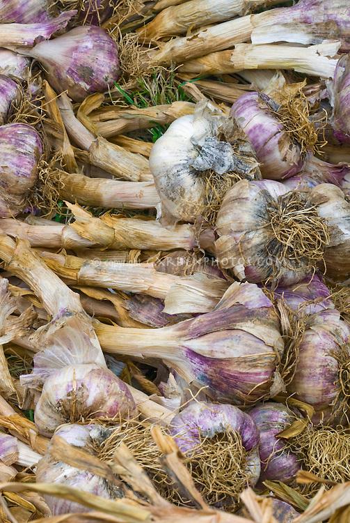 Purple garlic Allium sativum with stems attached