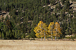 Aspen trees clothed in autumn yellow at the foot of a mountain in Rocky Mountain National Park, Colorado, USA