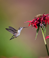 Hummingbird hovering in flight at red Bee Balm flower