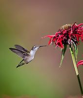Hummingbird hovering in flight at red Bee Balm flower