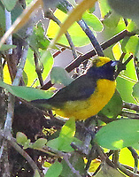 Yellow-crowned euphonia male