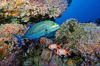 A Bluefin Trevally, Caranx melampygus, patrols past a pair of Splendid Soldierfish, Myripristis botche, amdist rocky terrain covered by small soft corals. Fish Rock, Andaman Islands, India, Andaman Sea