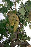 Grape vines in wine growing district, San Miguel de Abona, Tenerife, Canary Islands, Spain.