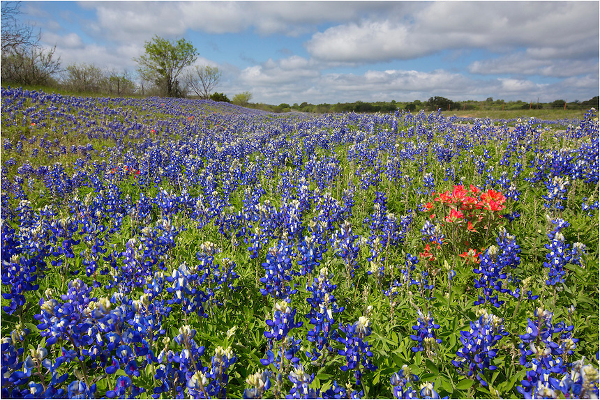 Spring Texas Wildflowers in 2013 have not been great. Along the roadsides, places to capture bluebonnet images are sparse and scattered. This image comes from 3347 just off of RR 963 in Southeast Llano County. The bluebonnets were fairly nice here, along with a nice splash of color from one of my favorite Texas Wildflowers, the Indian Paintbrush.