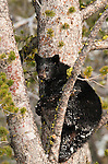 A black bear cub climbs a tree in search of pine nuts in Yellowstone National Park.   Photo by Gus Curtis.