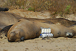 "Elephant seal female with ""critter camera"" and research devices.  UCSC Research."