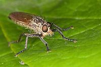 Barbarossafliege, Barbarossa-Fliege, Raubfliege, Barbarossa-Raubfliege, Weibchen, Eutolmus rufibarbis, robberfly, robber-fly, Raubfliegen, Mordfliegen, Asilidae, robberflies, robber flies