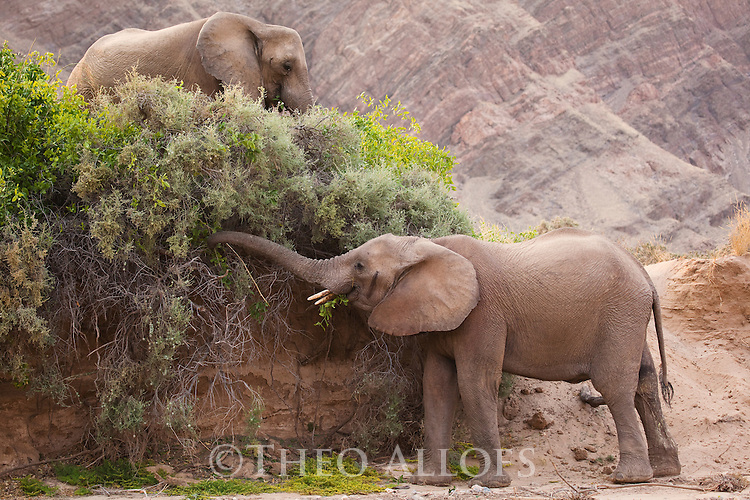 Namibia;  Namib Desert, Skeleton Coast,  desert elephants (Loxodonta africana) feeding on green bushes in dry river bed