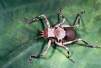 Exotische Heuschrecke aus Afrika
