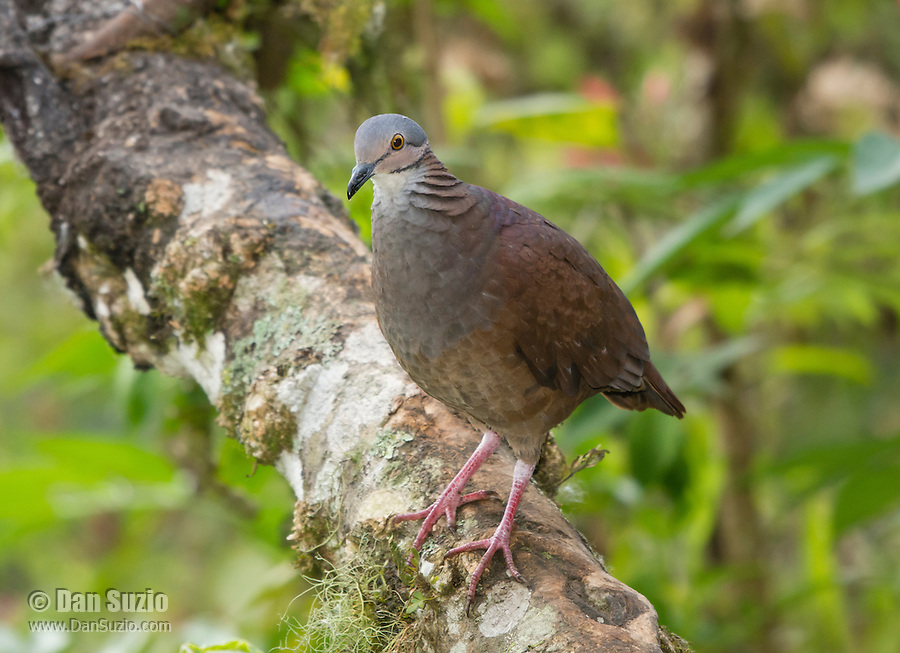 White-throated Quail-Dove, Geotrygon frenata, perched on a branch in Tandayapa Valley, Ecuador