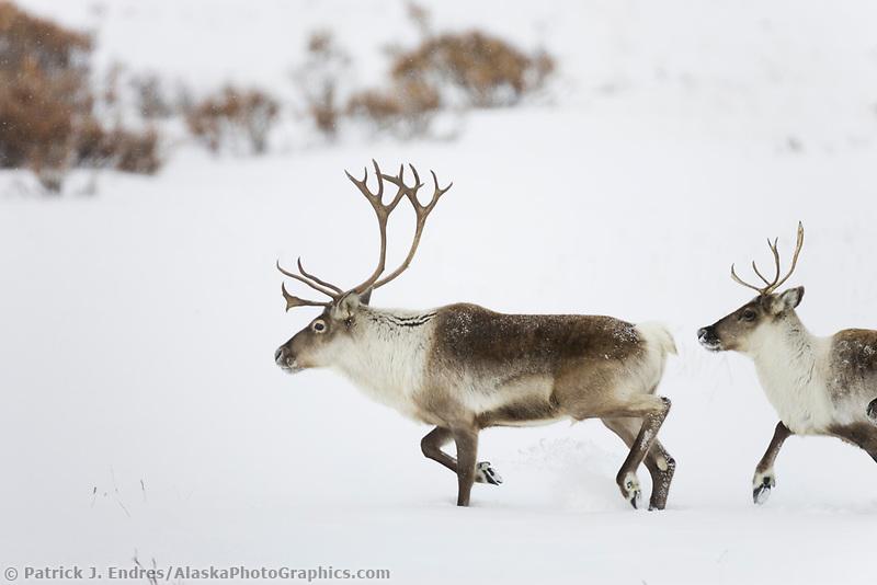 Caribou on the Arctic tundra north of the Brooks range, Arctic, Alaska
