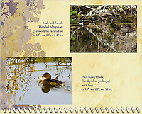 "October of the 2014 Birds of a Feather Calendar. Photo is called ""Hooded Merganser Pair In Branches"" and ""Grebe and frog reflections"".  A male and female Hooded Merganser (Lophodytes cucullatus) are hiding among the branches of a stream with reflections in the water of the birds and branches in the Ridgefield National Wildlife Refuge."
