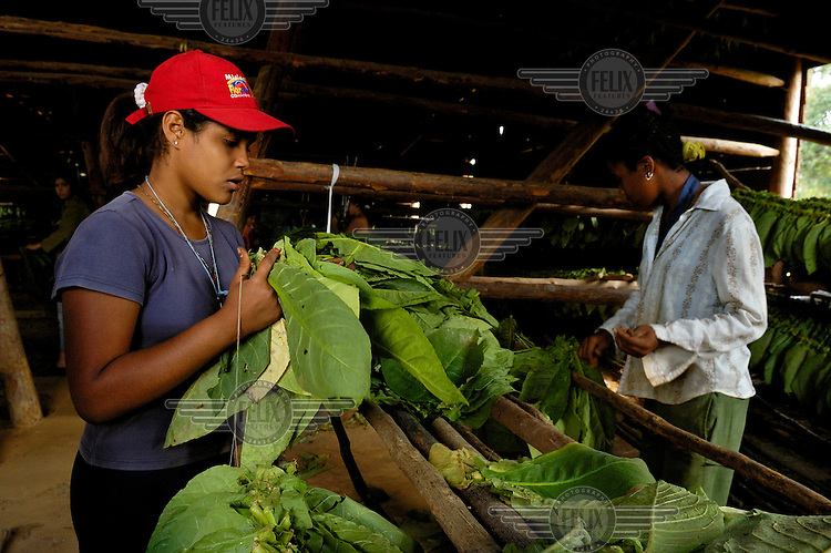 Young plantation workers hang up freshly harvested tobacco leaves (for cigar making) inside a drying hall in the Valle de Vinales.