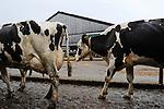 DEUTSCHLAND Meierei Kruses Hofmilch in Rellingen<br /> Schleswig-Holstein, Herstellung von koscheren Milchprodukten unter Kontrolle eines juedischen Rabbiner, Milchviehhaltung von Sohn Stefan Kruse
