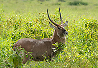 Male Defassa Waterbuck, Kobus ellipsiprymnus defassa, grazing in Lake Nakuru National Park, Kenya