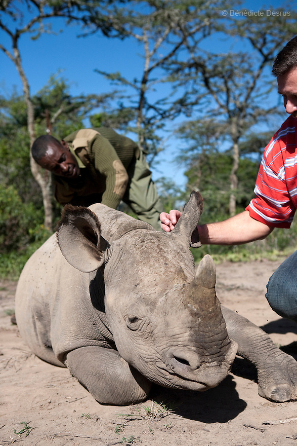 Mohamed Doyo, a keeper and employee at Ol Pejeta conservancy, and a team from the Dvur Králové Zoo pet a Southern White Rhino at Ol Pejeta Conservancy, Laikipia, Kenya on January 17, 2010. On December 20, 2009, four of the world's last eight known surviving northern white rhinos were relocated from captivity back to the wild in a last bid to save them from extinction. The four rhinos, two males and two females, named Sudan, Suni, Fatu and Najin - were transferred by air from Dvur Králové Zoo in the Czech Republic to the Ol Pejeta Conservancy in Laikipia, Kenya. It is thought that the climatic, dietary and security conditions that the rhinos will enjoy at Ol Pejeta will provide them with higher chances of starting a population in what is seen as the very last lifeline for the species. Photo credit: Benedicte Desrus