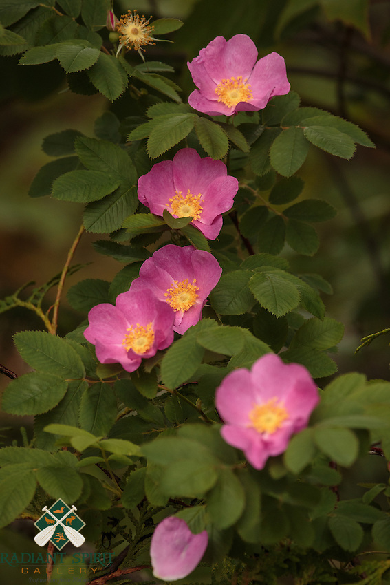 """""""Wild Roses""""<br /> <br /> Wild roses are sprinkled along the shores of many BWCAW and Quetico lakes in July. I enjoy seeing them as well as smelling their sweet fragrances adrift on gentle breezes.<br /> ~ Day 104 of Inspired by Wilderness: A Four Season Solo Canoe Journey"""