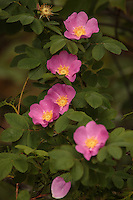 &quot;Wild Roses&quot;<br />