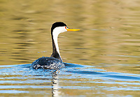 Clark's Grebe, Aechmophorus clarkii, swimming on Upper Klamath Lake, Oregon
