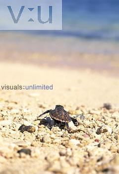 Hawksbill Sea Turtle hatchling heading for the sea ,Eretmochelys imbricata,, Fiji.