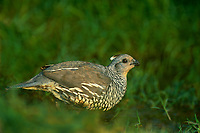 574568052 a wild female scaled quail callipepla squamata drinks from a small pond on a private ranch in the rio grande valley of south texas