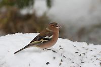 Buchfink, Buch-Fink, an der Vogelfütterung, Fütterung im Winter bei Schnee, frisst Körner am Boden , Winterfütterung, Fringilla coelebs, chaffinch