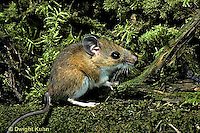 MU01-005z  White-Footed Mouse - Peromyscus leucopus