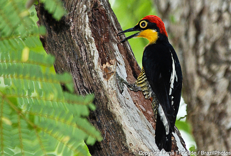 The Yellow-fronted Woodpecker ( Melanerpes flavifrons ) is a species of bird in the Picidae family. Rio de Janeiro Botanic Garden, Brazil. Portuguese names: benedito-de-testa-amarela or pica-pau-de-testa-amarela. It is found in Argentina, Brazil, and Paraguay. Its natural habitats are subtropical or tropical moist lowland forests and heavily degraded former forest.
