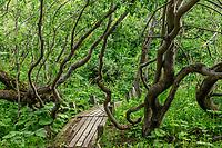 France, Hautes-Alpes (05), Villar-d'Arène, jardin alpin du Lautaret, sous bois de saules-laurier (Salix pentandra) en zone humide