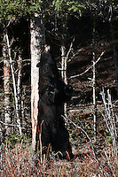 Black Bear scratching his back on a tree.