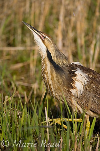 American Bittern (Botaurus lentiginosus), preparing to call, Montezuma National Wildlife Refuge, New York, USA