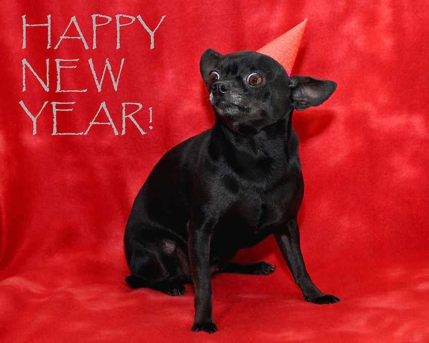 Boo-Boo our chihuahua says HAPPY NEW YEAR!