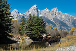 Bull moose and Teton Range. Grand Teton National Park, Wyoming.