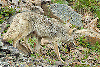 Wild Coyote (Canis latrans) with yellow-bellied marmot as prey.  Western U.S., Summer.