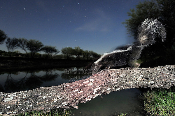 Striped Skunk (Mephitis mephitis), adult at night walking on log, Laredo, Webb County, South Texas, USA