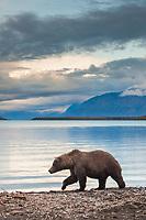 Brown bear walks along the shore of Naknek lake, Katmai National Park, southwest, Alaska.