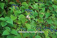 63808-01210 Arrowwood Viburnum (Viburnum dentatum) with fruit   IL