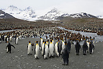 King Penguin colony at Gold Harbour on South Georgia Island.