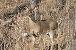 White-tailed deer - yearling in spring