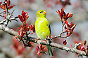00445-029.09 American Goldfinch female is perched on red splendor crab apple tree. Landscape, backyard, yellow, habitat.