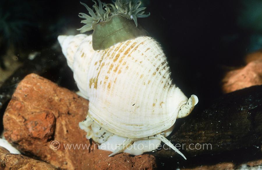 Gemeine Wellhornschnecke, Wellhorn-Schnecke, Coxe, Buccinum undatum, common whelk, edible European whelk, waved whelk, buckie, common northern whelk