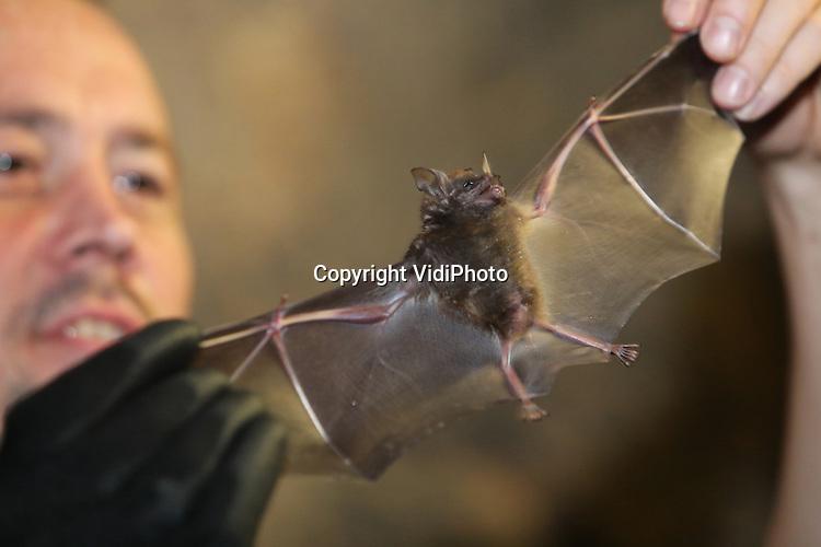 Foto: VidiPhoto<br /> <br /> ARNHEM - Een explosieve vleermuizengroei in Burgers' Zoo in Arnhem, zo bleek donderdag bij de jaarlijkse telling. In totaal werden er 366 geteld -163 mannen en 199 vrouwen- waaronder vier jongen en zestien zwangere vleermuizen. Nog niet eerder waren er zoveel brilbladneusvleermuizen in de Arnhemse dierentuin. De jaarlijkse telling is een belangrijk ijkmoment om niet alleen de lichamelijke conditie van elke vleermuis te kunnen bekijken, maar vooral ook om de geslachtsverhouding binnen de groep nauwlettend te monitoren. Deze Zuid-Amerikaanse vleermuissoort leeft namelijk in haremgroepen, waarbij &eacute;&eacute;n man zijn vaste hangplek (territorium) deelt met enkele vrouwen. Als het percentage mannen in de groep te groot wordt, ontstaat er druk op de aanwezige vrouwen en de jongen die ze mogelijk op dat moment grootbrengen. In 2014 werden 84 mannen en 103 vrouwen geteld. In 2015 bleek de populatie al flink toegenomen: 132 mannen en 150 vrouwen. De groeiexplosie nu is grotendeels te danken aan een verdere verfijning van het menu van de dieren door onder meer vleerhondennectar toe te voegen en de creatie van extra hangplekken. Om de geslachtsverhouding in evenwicht te brengen wordt verhuizen op korte termijn 50 mannen naar de Bush van het park om de daar aanwezige vrijgezellengroep verder te versterken. Daar spelen ze een belangrijke rol bij de natuurlijk bestuiving van diverse plantensoorten.
