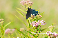 03004-01615 Pipevine Swallowtail (Battus philenor) on Swamp Milkweed (Ascelpias incarnata) Marion Co. IL