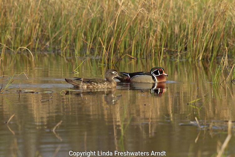Pair of Wood Ducks
