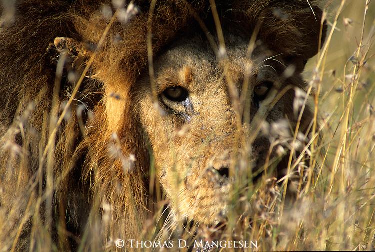 Sick Lion (Panthera leo) in grass. Serengeti National Park - Tanzania