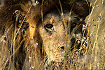 Sick Lion (Panthera leo) in grass. Serengeti National Park - Tanzania