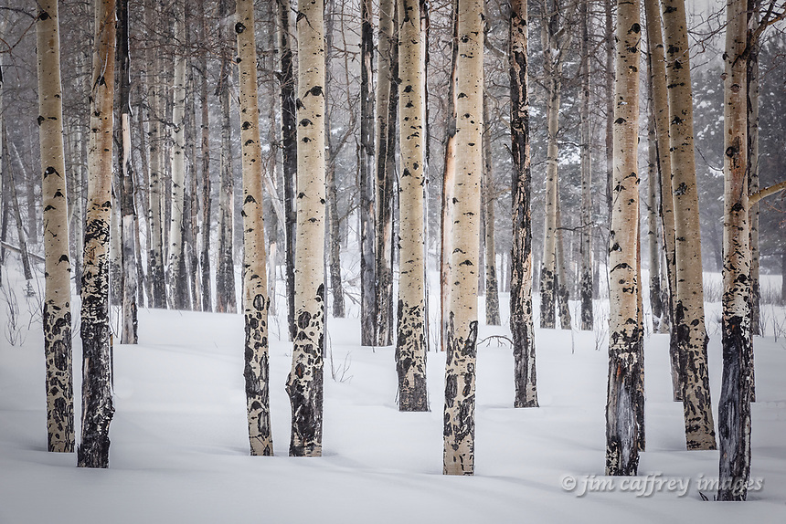 A stand of aspen trees in deep snow in the Santa Fe Nat'l Forest